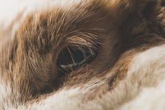 Bruin en wit konijnoog stock fotografie
