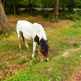 Bruin en wit Nieuw Bosponeypaard in zonsopganglandschap Royalty-vrije Stock Afbeeldingen
