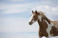 Bruin en wit paard Stock Fotografie