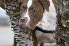 Bruin en Wit Pit Bull Mix Peeking Through de Bomen royalty-vrije stock foto's