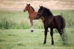 Bruin en zwart veulen Royalty-vrije Stock Afbeelding