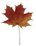 Bruin esdoornblad Royalty-vrije Stock Afbeeldingen