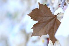 Bruin esdoornblad stock afbeeldingen