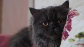 Bruin-eyed Schots kattenclose-up De kat is donkergrijs met lang haar stock video