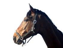 Bruin geïsoleerdh paard, royalty-vrije stock afbeelding