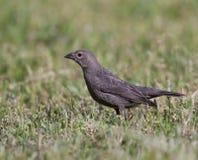 Bruin-geleide Cowbird Royalty-vrije Stock Foto