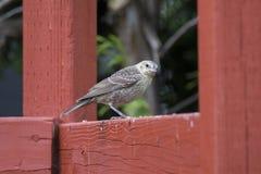 Bruin-geleide Cowbird Stock Foto