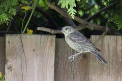 Bruin-geleide Cowbird Royalty-vrije Stock Fotografie
