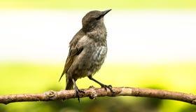 Bruin-geleide Cowbird-Beginneling Stock Afbeelding