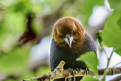 Bruin-geleide Cowbird (Molothrus ater) stock afbeelding