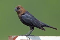 Bruin-geleide Cowbird op Teken Stock Fotografie