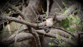 Bruin-geleide Ijsvogel Stock Afbeeldingen