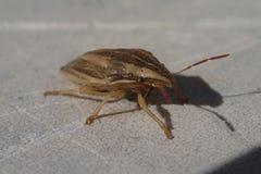 Bruin gestreept insect Stock Afbeeldingen