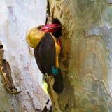 Bruin-gevleugelde Ijsvogel Royalty-vrije Stock Afbeeldingen