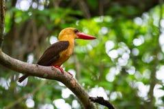 Bruin-gevleugelde Ijsvogel Stock Foto's