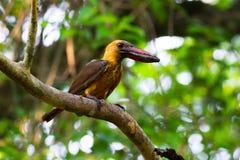 Bruin-gevleugelde Ijsvogel Stock Afbeelding