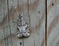 Bruin Grey Moth Royalty-vrije Stock Afbeeldingen