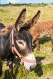 Bruin harig ras van ezel op een weide, leuke, lange oren royalty-vrije stock foto