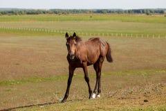 Bruin hengst/paard in het weiland royalty-vrije stock afbeeldingen
