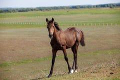 Bruin hengst/paard in het weiland royalty-vrije stock afbeelding