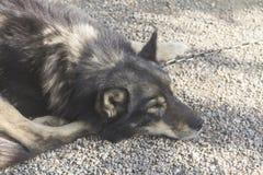 Bruin Husky Sled Dog Stock Foto's