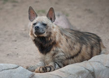 Bruin hyenaportret Stock Foto's