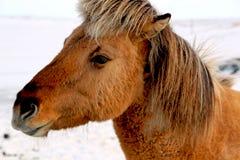 Bruin Ijslands paard in de winter royalty-vrije stock afbeeldingen