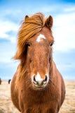 Bruin Ijslands paard die camera onder ogen zien Stock Foto's