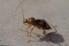 Bruin insect met lange antennes Royalty-vrije Stock Foto's