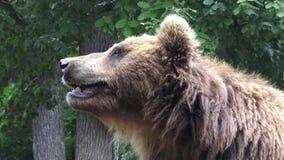 Bruin Kamchatka draagt stock videobeelden