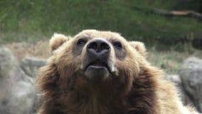 Bruin Kamchatka draagt stock footage
