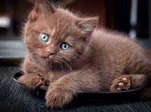 Bruin katje op zwarte plaat Stock Foto's