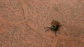 Bruin kever-insect die op het bedekken plakken in openlucht kruipen stock footage