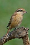 Bruin Klauwier (Lanius-cristatus) Stock Fotografie