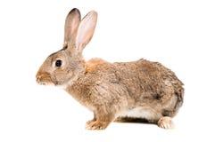 bruin konijn Royalty-vrije Stock Afbeeldingen