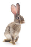 bruin konijn Stock Afbeelding