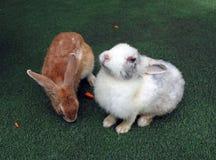 Bruin konijn en witte grijze konijnzitting op het groene kunstmatige gras Het is het burrowing, in kudden levend, installatie-ete royalty-vrije stock afbeelding