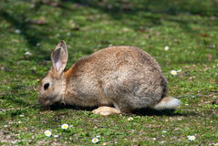 Bruin konijntje Royalty-vrije Stock Afbeeldingen