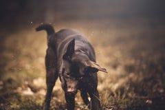 bruin Labrador Royalty-vrije Stock Afbeelding