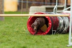 Bruin Labrador bij behendigheidscursus Royalty-vrije Stock Foto's