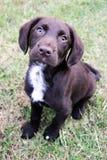 Bruin leuk die puppy op gras wordt gezeten die omhoog eruit zien Stock Foto's