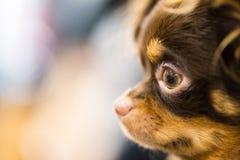 Bruin leuk puppyportret royalty-vrije stock foto