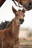 Bruin leuk veulenportret met zijn moeder Stock Foto