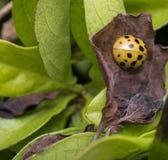 Bruin lieveheersbeestje met zwarte punten op een droog blad Royalty-vrije Stock Foto's