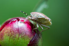Bruin marmorated stinken insect Stock Fotografie
