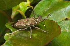 Bruin marmorated stinken insect & x28; Halyomorpha halys& x29; Stock Afbeeldingen
