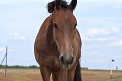 Bruin paard Royalty-vrije Stock Foto