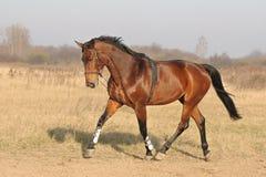 Bruin paard. Stock Afbeeldingen