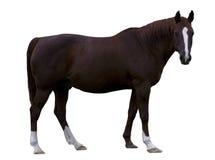 Bruin Paard Stock Foto