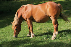 Bruin paard Stock Foto's